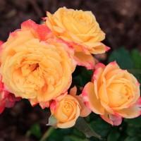 Роза чайно-гибридная Моника Лестурнель