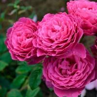 Роза шраб Вентило