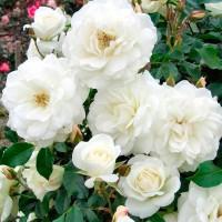 Роза плетистая Айсберг Клайминг