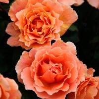 Роза чайно-гибридная Джаст Джоуи