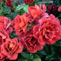 Роза флорибунда Горячий Шоколад