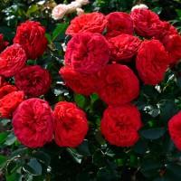 Роза чайно-гибридная Ред Пиано