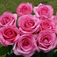 Роза чайно-гибридная Свит Пароле