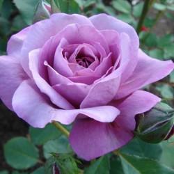 Роза парково-кустовая Россион