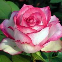 Роза чайно-гибридная Аттракта