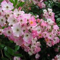 Мускусные розы (ОКС)
