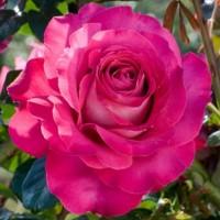 Роза чайно-гибридная Барон Эдмон де Родшильд