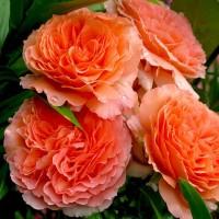 Роза шраб Бельведер