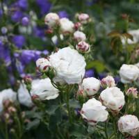 Роза бурбонская Буль де Неж