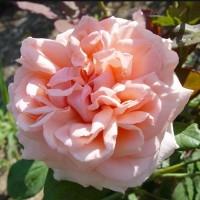 Роза чайно-гибридная Донателла