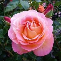 Роза чайно-гибридная Элле