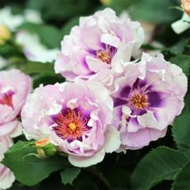 Персидские розы