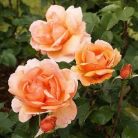 Роза миниатюрная Фаворит Хит