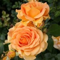 Роза флорибунда Голделз