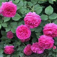 Роза бурбонская Исаак Перье