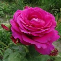 Роза чайно-гибридная Джакаранда