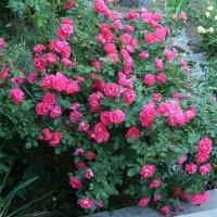 Роза канадская Джордж Ванкувер