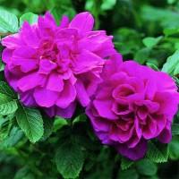 Роза канадская Ханса