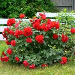 Роза канадская Хансаланд