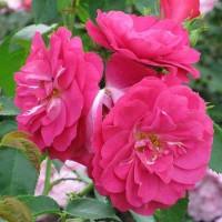 Роза канадская Джон Кэбот