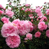 Роза канадская Джон Дэвис (ОКС)