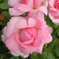 Роза канадская Ламберт Клосс