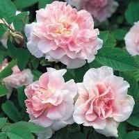 Роза канадская Мартин Фробишер (ОКС)