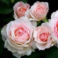 Роза канадская Морден Блаш