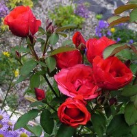 Роза канадская Николас (ОКС)
