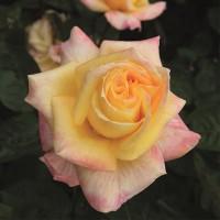 Роза чайно-гибридная Кенари