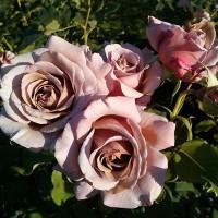 Роза флорибунда Коко Локо