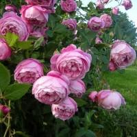 Роза бурбонская Ла Рейн Виктория (La Reine Victoria)