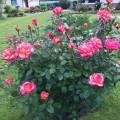 Куст розы флорибунда Лео Ферре