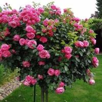 Роза флорибунда Леонардо да Винчи (на штамбе)