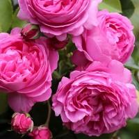 Роза бурбонская Луис Одьер