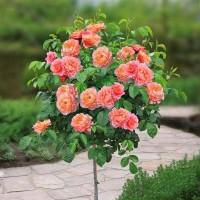 Роза шраб Мари Кюри (на штамбе)