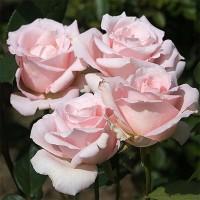 Роза чайно-гибридная Мерхенкенигин