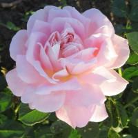 Роза чайно-гибридная Муриам