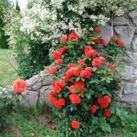 Роза плетистая Оранж Мейландина