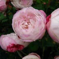 Роза бурбонская Пьер Оже (Pierre Oger)