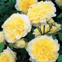 Роза английская Пилигрим