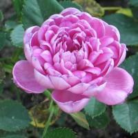 Роза миниатюрная Пинк Пудл