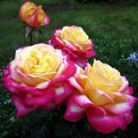 Роза чайно-гибридная Пульман Ориент Экспресс