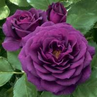 Роза флорибунда Пурпл Эден