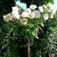 Роза флорибунда Шнеевитхен (на штамбе)