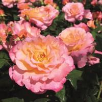 Роза чайно-гибридная Акварель (ОКС)