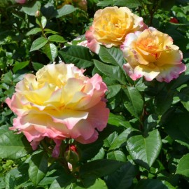 Розы Imperial Rose (Сербия)