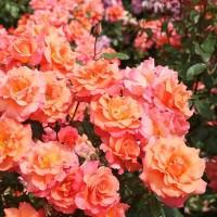 Розы шраб (Imperial Rose)