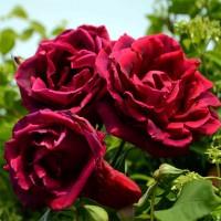 Розы плетистые (Imperial Rose)