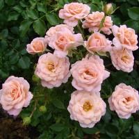Розы миниатюрные (Imperial Rose)